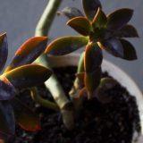 dusk plant hi res framed