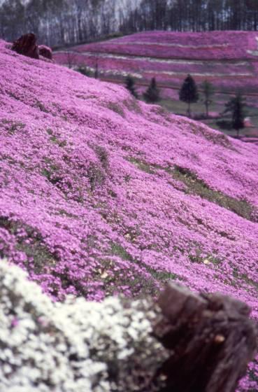 大空町ひがしもこと芝桜公園の芝桜2。2005年撮影