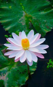 depression-lotus