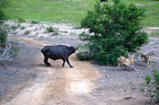 witnessing a lion kill on safari