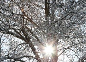 sun-through-icy-tree