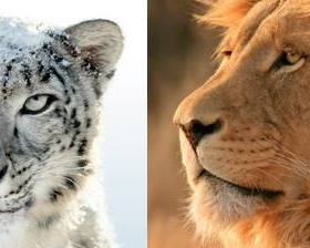 snow-leopard-lion