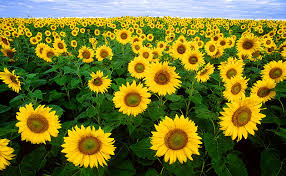 The Sunflower Project