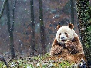 abandoned-brown-panda-qizai-15