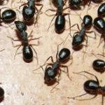 Home Remedies for Ants – Get Rid of Ants Naturally