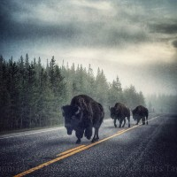 Yellowstone... Bison