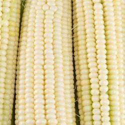 Small Crop Of Silver Queen Corn
