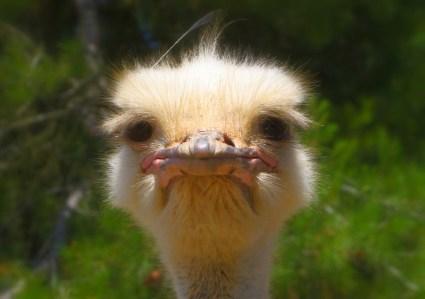 ostrich-992753_960_720