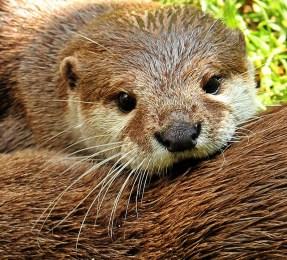 otter-1438378_960_720