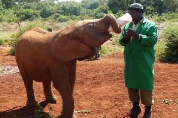 Elefante in Kenia