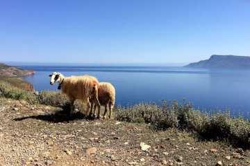 pecore sulla strada panoramica per Balos