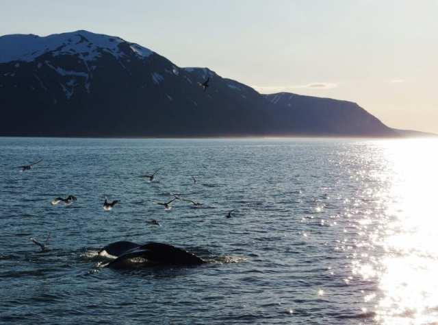 Whale-watching in Islanda