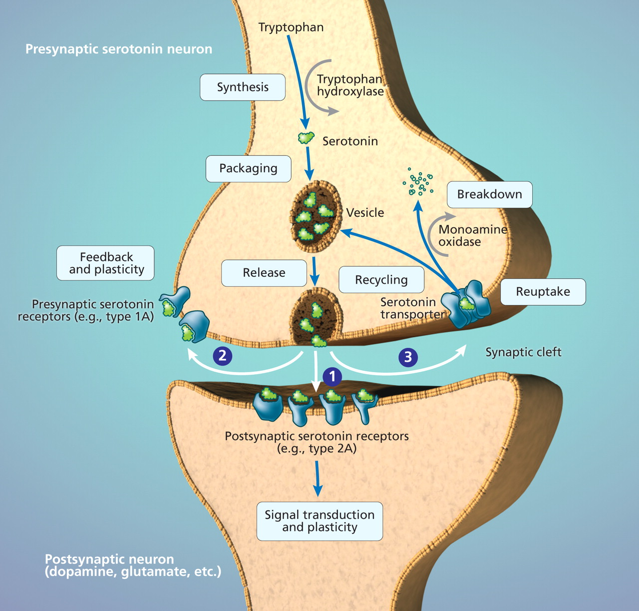 Tryptophan Serotonin What Is Tryptophan Hydroxylase Supplement Information
