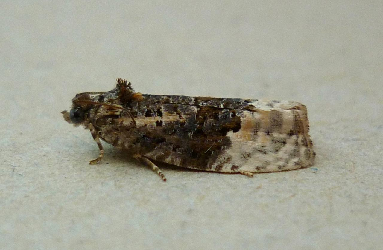 Yponomeuta Padella Lepiforum Apotomis Betuletana Birch Marble Norfolk Micro Moths The