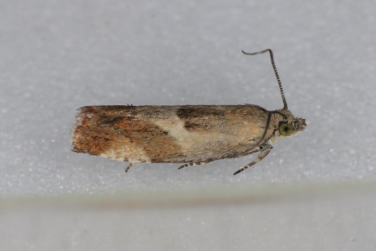 Yponomeuta Padella Lepiforum Epinotia Cruciana Willow Tortrix Norfolk Micro Moths The