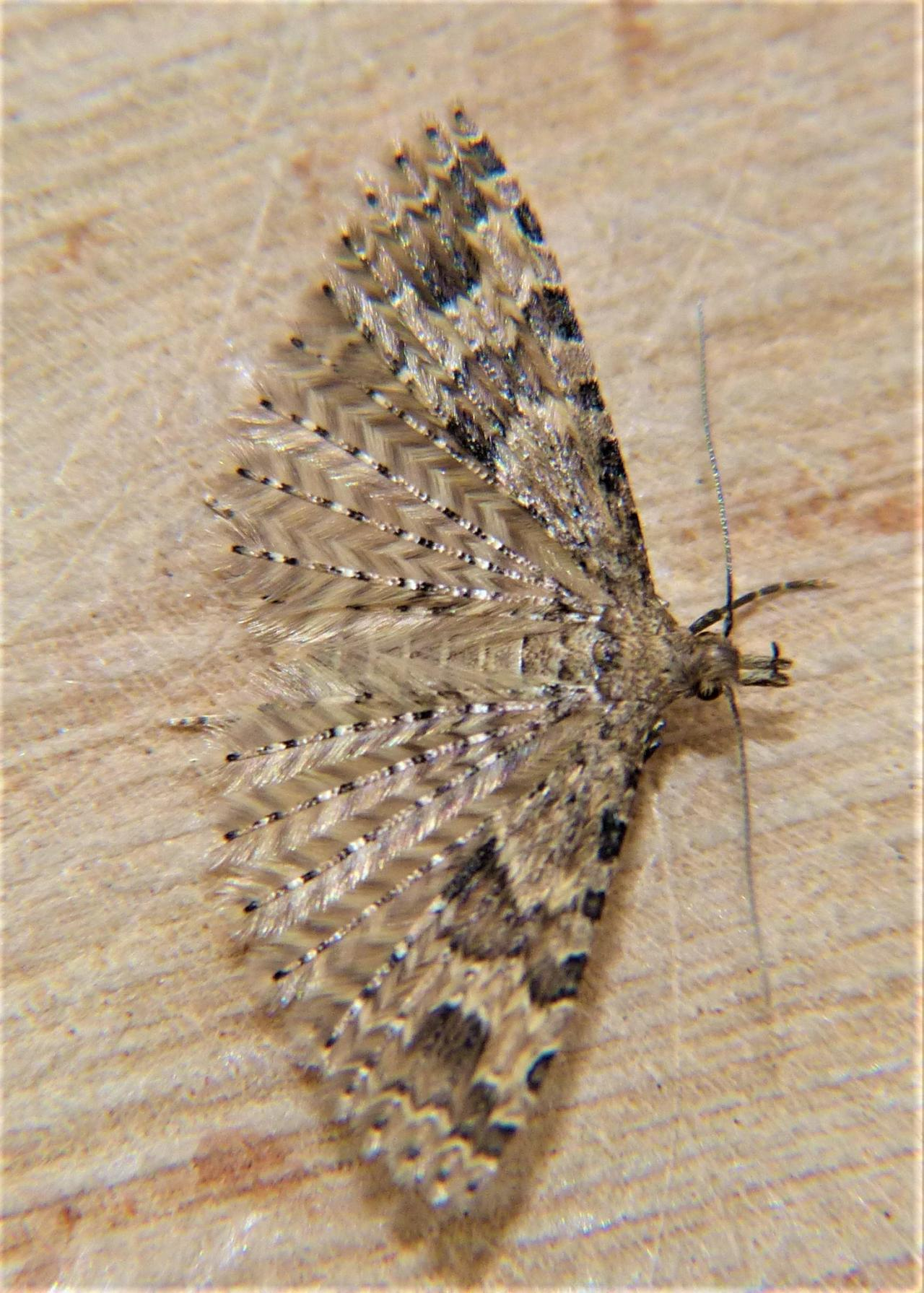 Yponomeuta Padella Lepiforum Alucita Hexadactyla Many Plume Moth Norfolk Micro Moths The