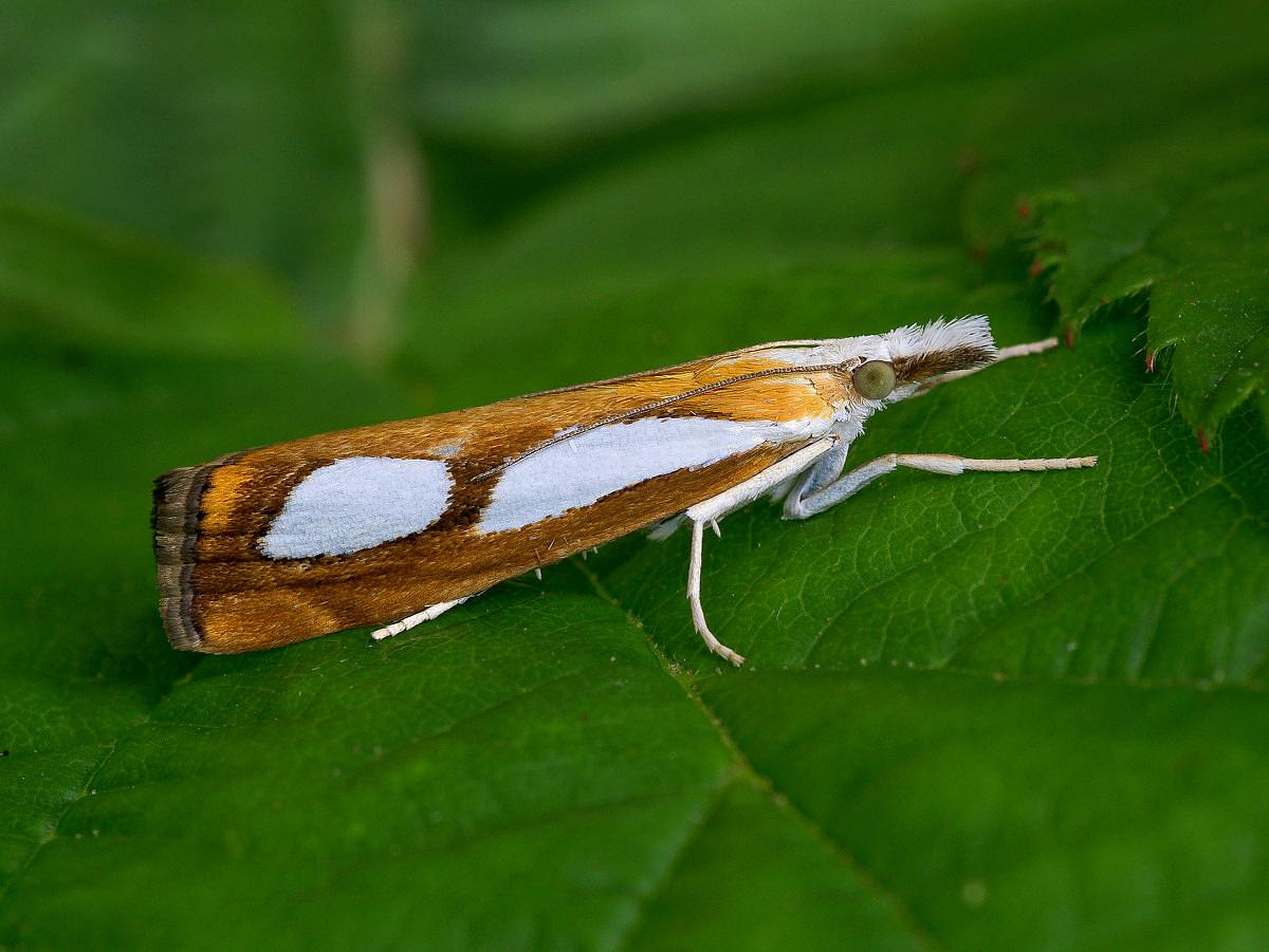 Yponomeuta Padella Lepiforum Catoptria Pinella Pearl Grass Veneer Norfolk Micro Moths The