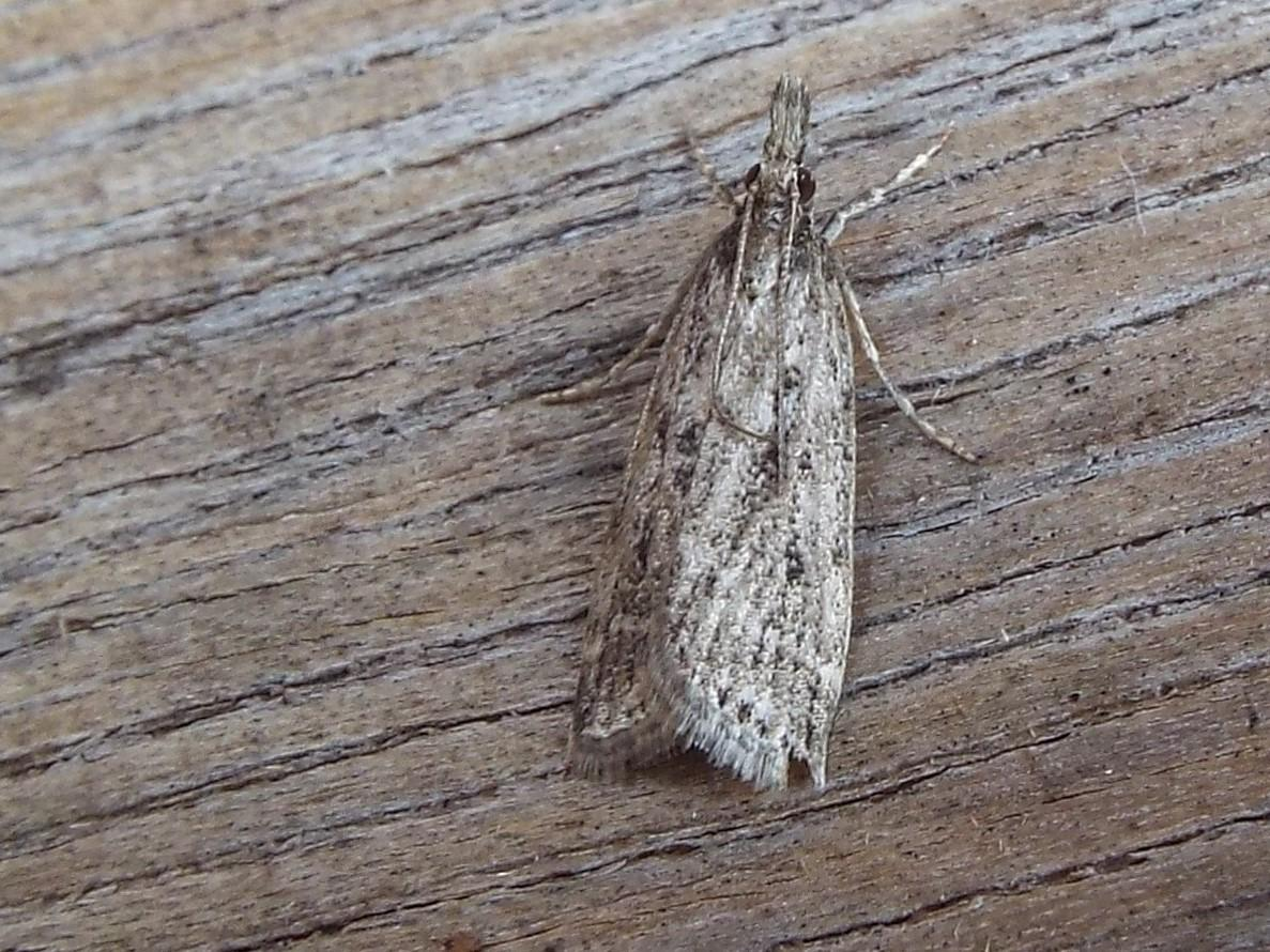 Yponomeuta Padella Lepiforum Eudonia Pallida Marsh Grey Norfolk Micro Moths The Micro