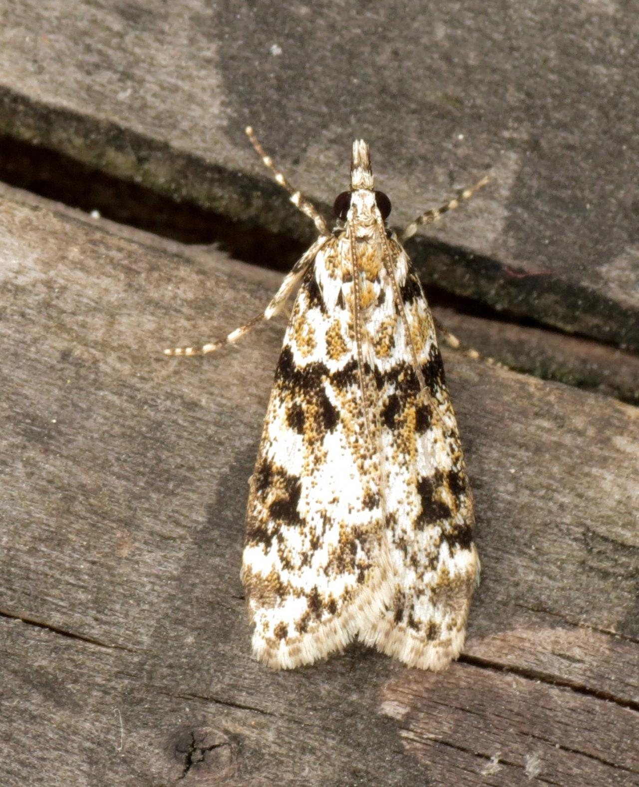 Yponomeuta Padella Lepiforum Eudonia Delunella Pied Grey Norfolk Micro Moths The Micro