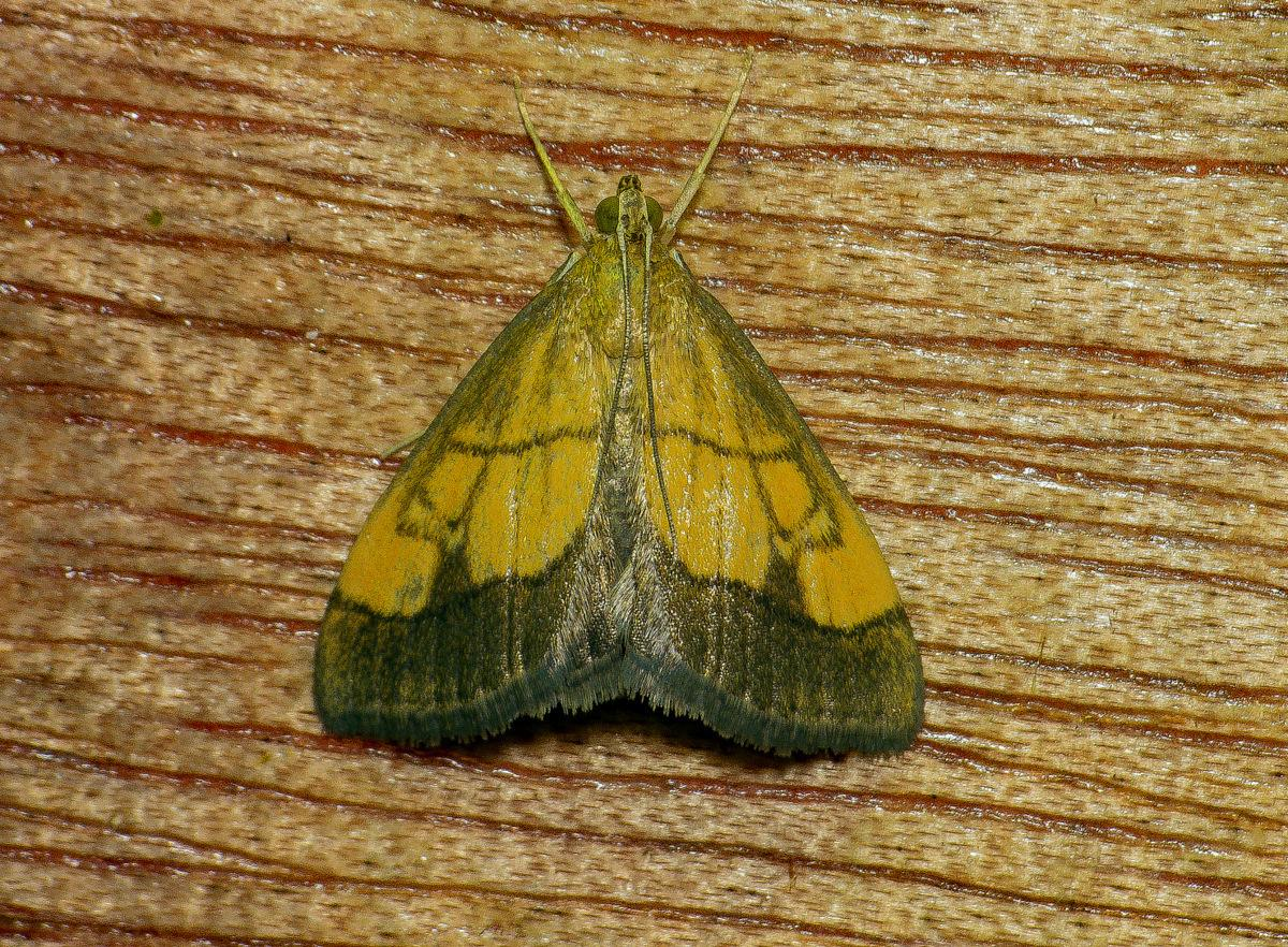 Yponomeuta Padella Lepiforum Evergestis Limbata Dark Bordered Pearl Norfolk Micro Moths