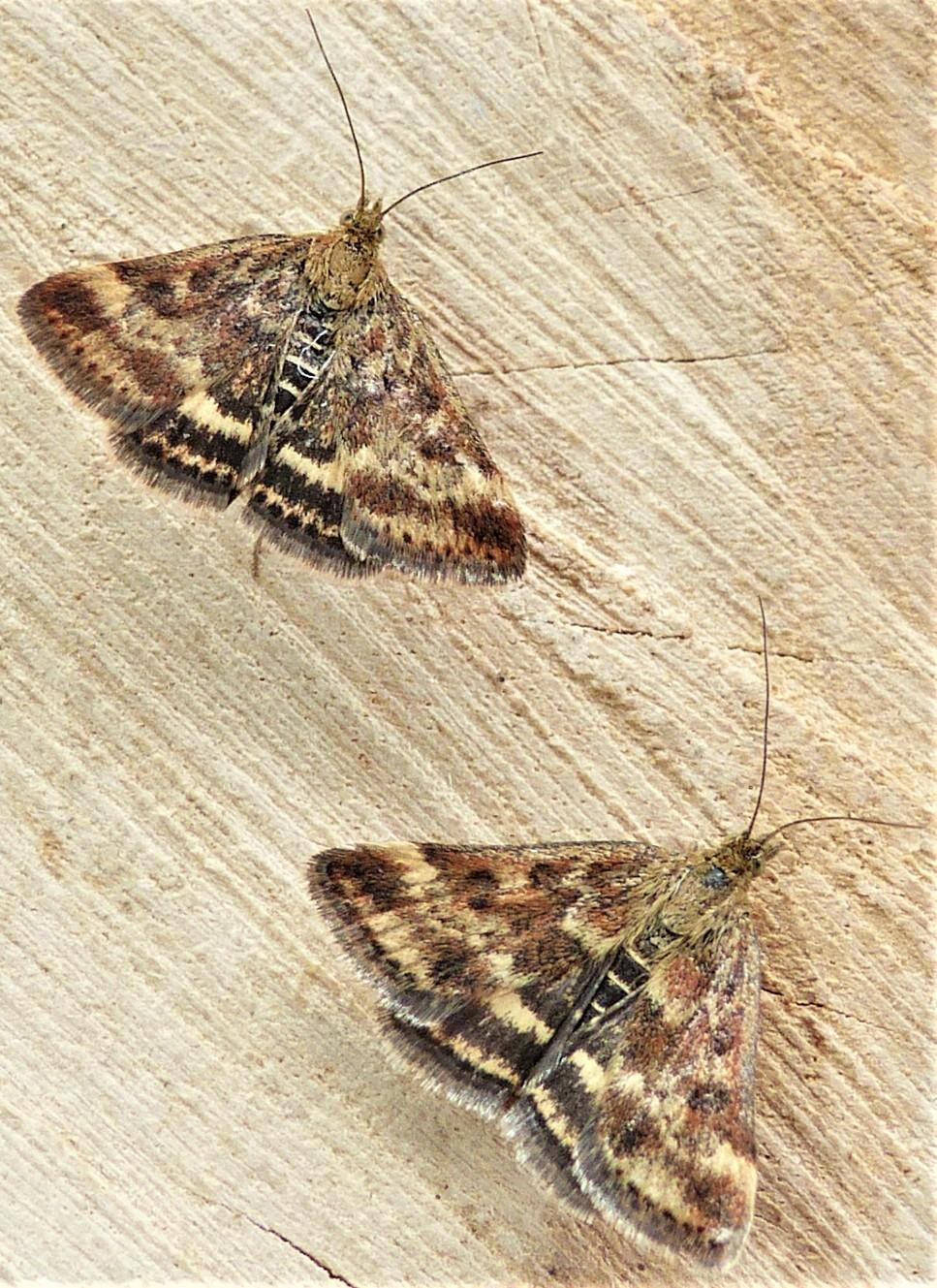 Yponomeuta Padella Lepiforum Pyrausta Despicata Straw Barred Pearl Norfolk Micro Moths
