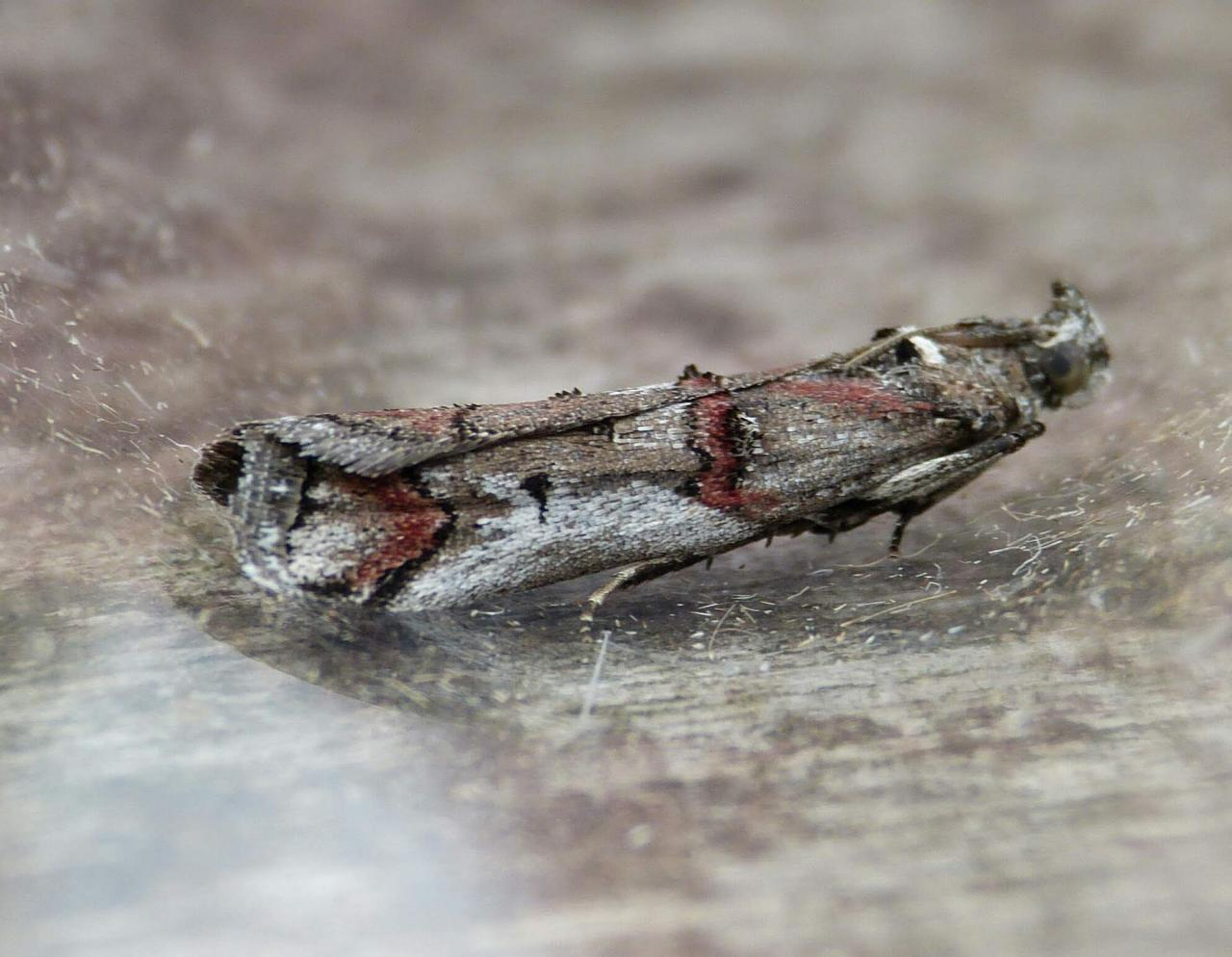 Yponomeuta Padella Lepiforum Pempelia Palumbella Heather Knot Horn Norfolk Micro Moths