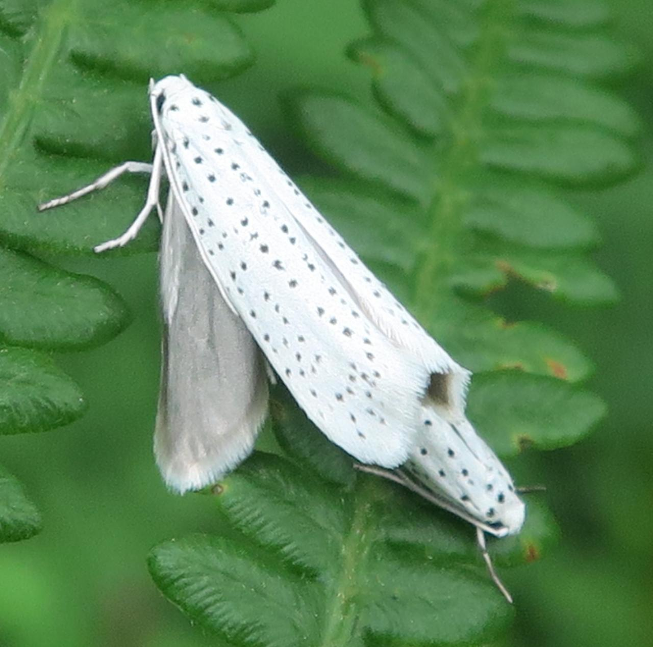 Yponomeuta Padella Lepiforum Yponomeuta Evonymella Bird Cherry Ermine Norfolk Micro Moths