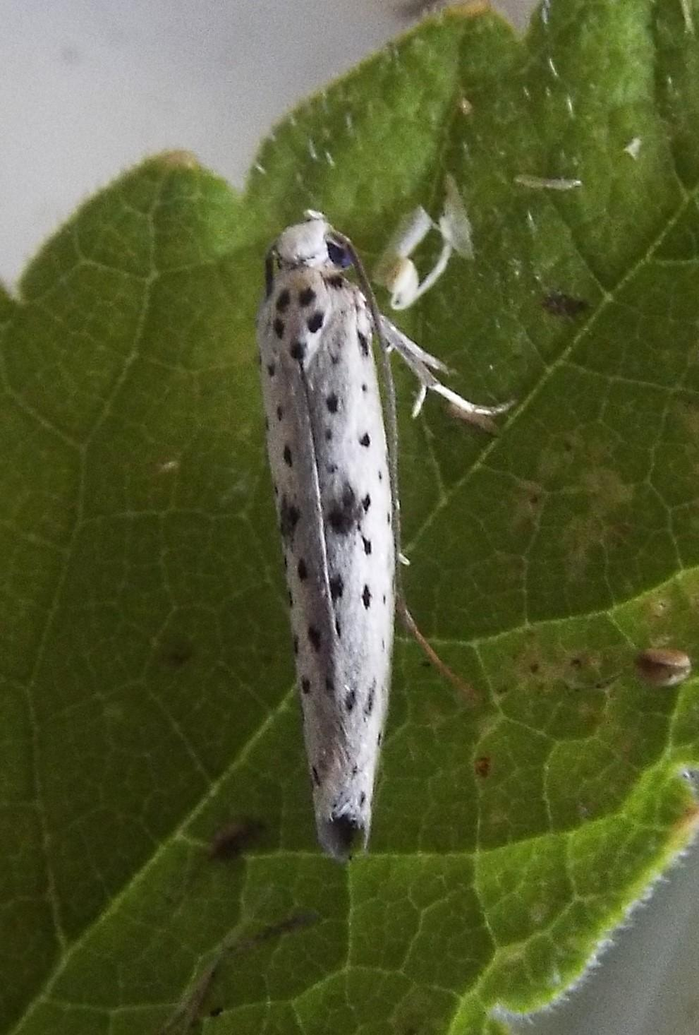Yponomeuta Padella Lepiforum Yponomeuta Plumbella Black Tipped Ermine Norfolk Micro Moths