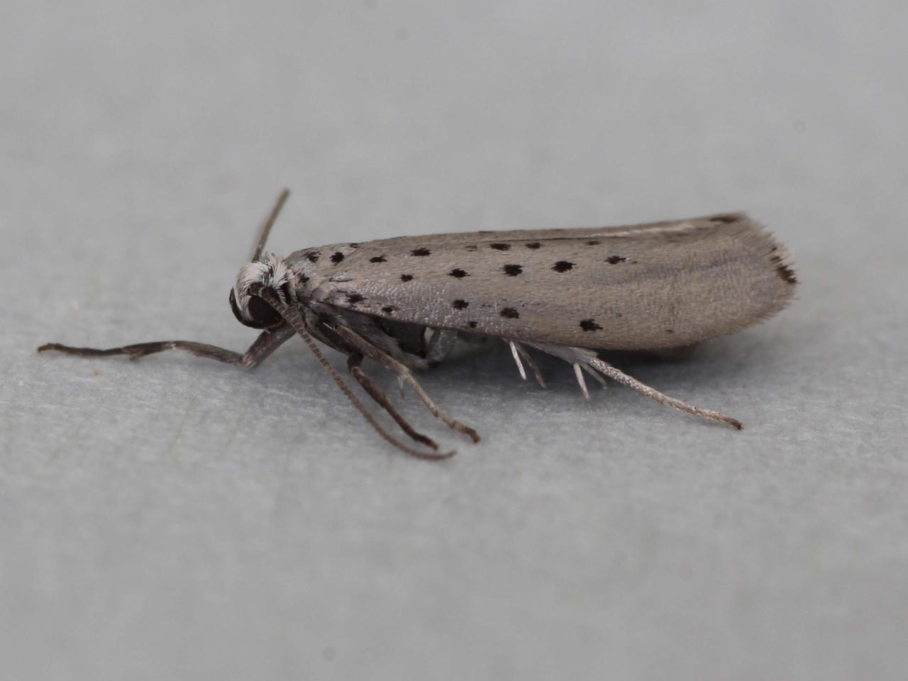 Yponomeuta Padella Lepiforum Yponomeuta Sedella Grey Ermine Norfolk Micro Moths The Micro