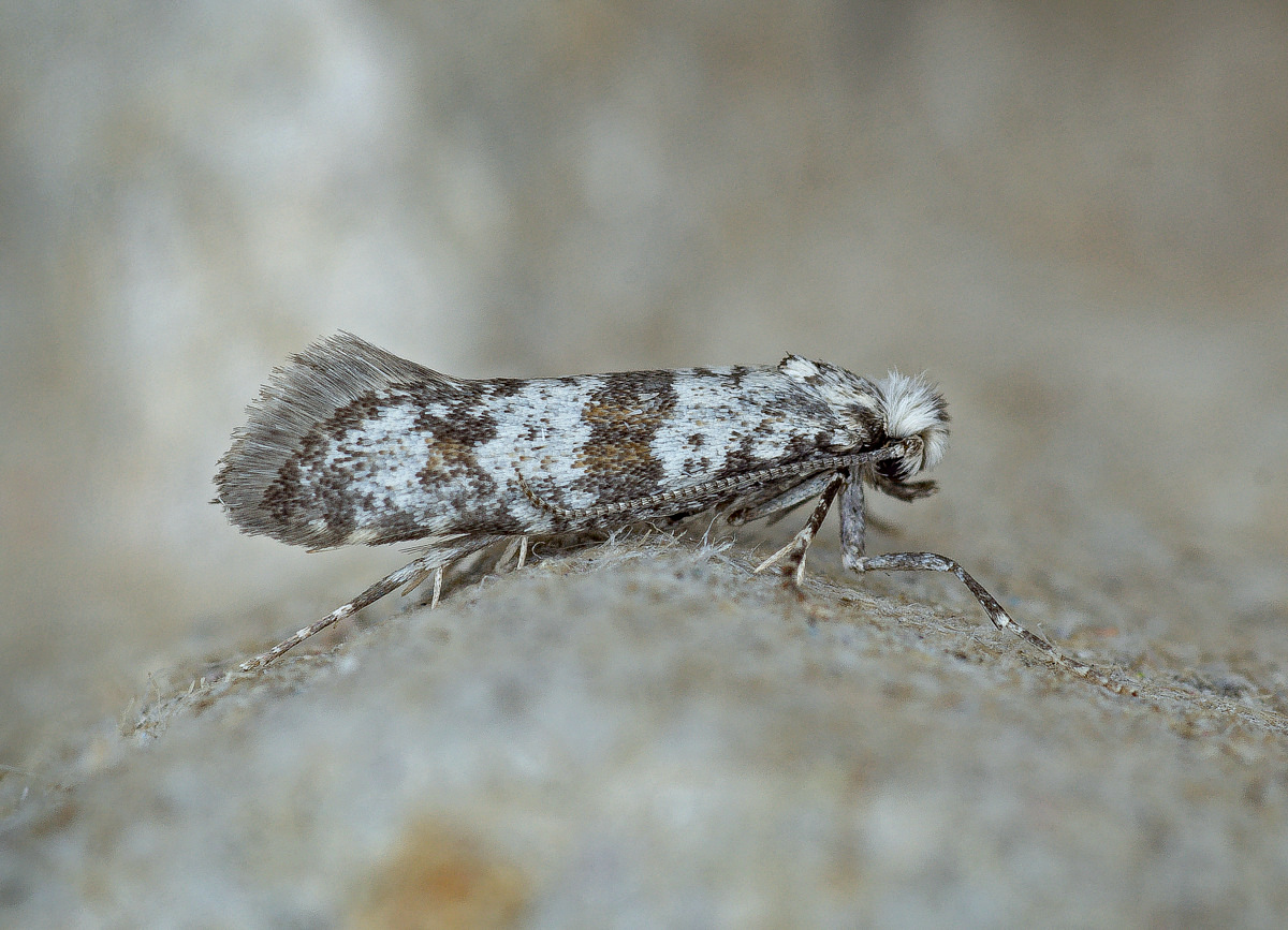 Yponomeuta Padella Lepiforum Scythropia Crataegella Hawthorn Moth Norfolk Micro Moths The