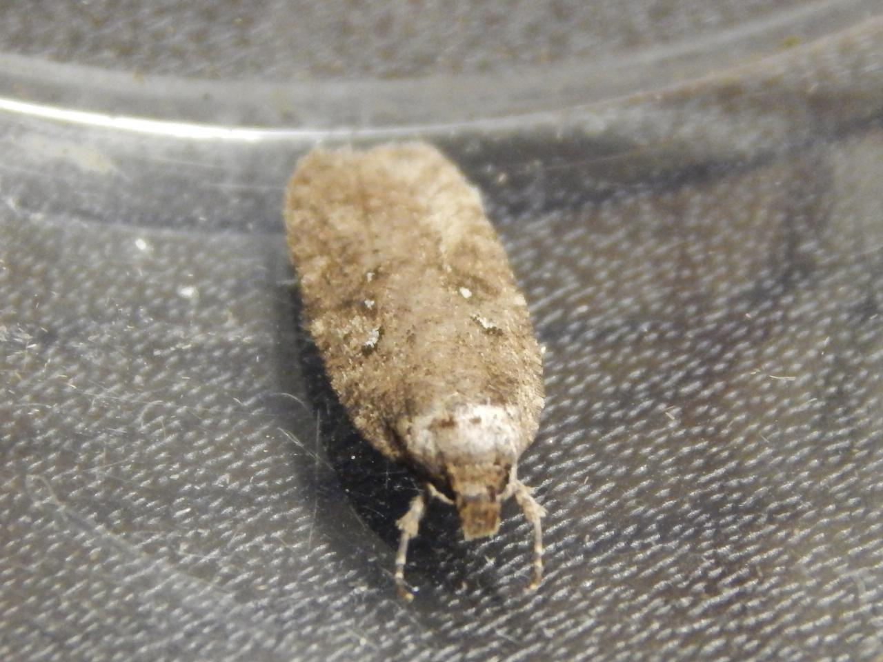 Yponomeuta Padella Lepiforum Agonopterix Heracliana Common Flat Body Norfolk Micro Moths
