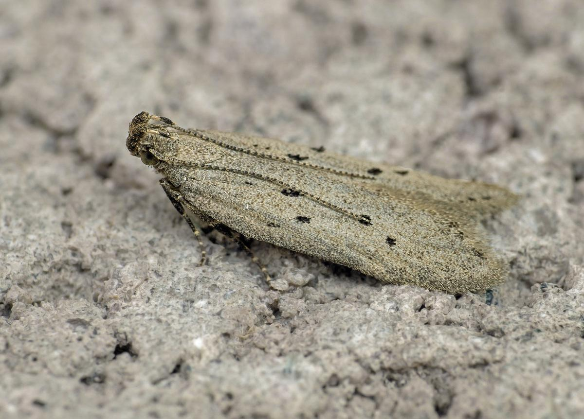 Yponomeuta Padella Lepiforum Athrips Mouffetella Dotted Grey Groundling Norfolk Micro Moths