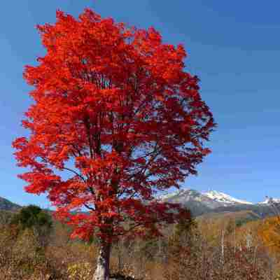 大カエデ 燃える紅葉と初冠雪の乗鞍岳
