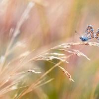 Puisi Cinta: Mengingat Ulat (Perjumpaan kembali saat menjadi kupu-kupu)