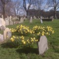 Daffodils at Copp's Hill Burying Ground - 2011 by Thomas F. Schiavoni