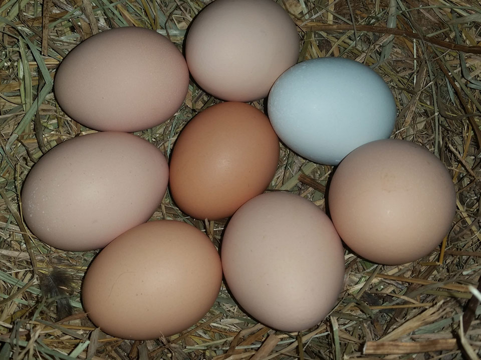 Different Breeds Of Chickens Lay Eggs Of Different Colors. - North