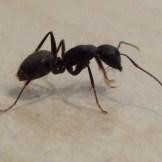 Live Camponotus pennsylvanicus worker