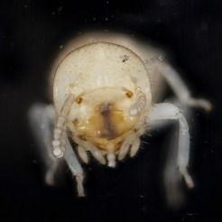 Subterranean Termite Worker Closeup