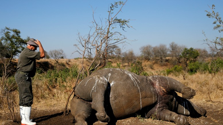 A ranger gestures before performing a post mortem on a rhino after it was killed for its horn by poachers in South Africa's Kruger National Park, August 27, 2014.  Photogaph: Siphiwe Sibeko