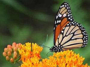 Save the Butterflies - No Spraying