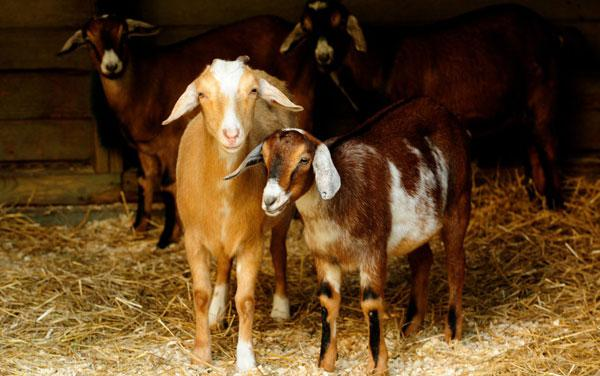 GOATS IN BROOKLYN'S PROSPECT PARK – ALTERNATIVE TO HERBICIDES!