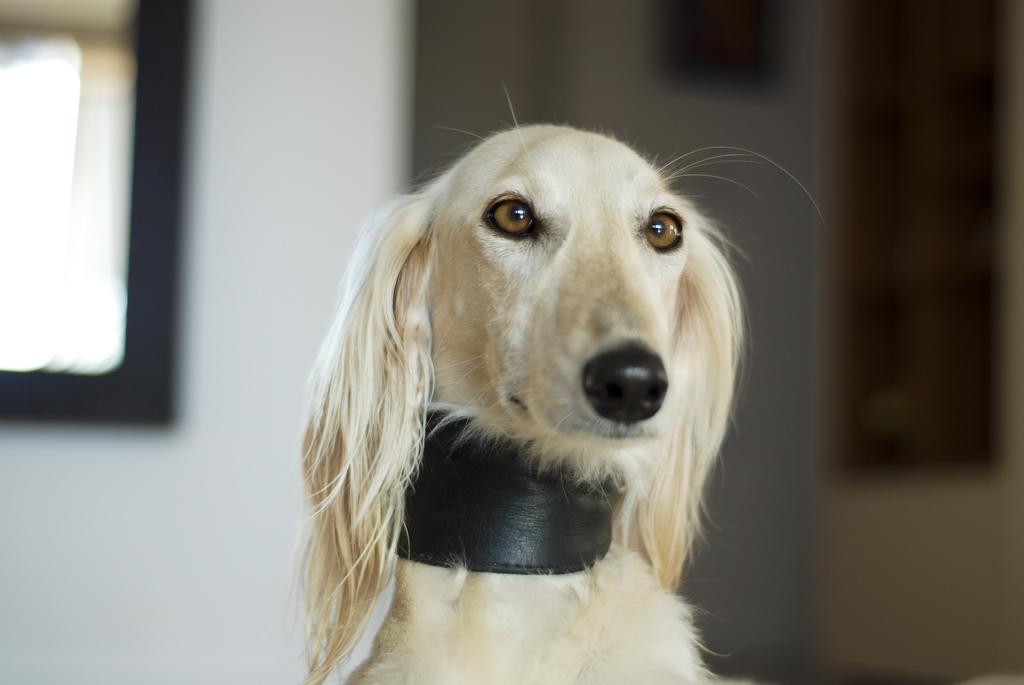 Remedios naturales para combatir las pulgas en el perro (NO SIRVE EN EL GATO)