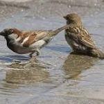 Disminuye la poblacion de gorriones en Salamanca
