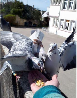 pigeon mange main