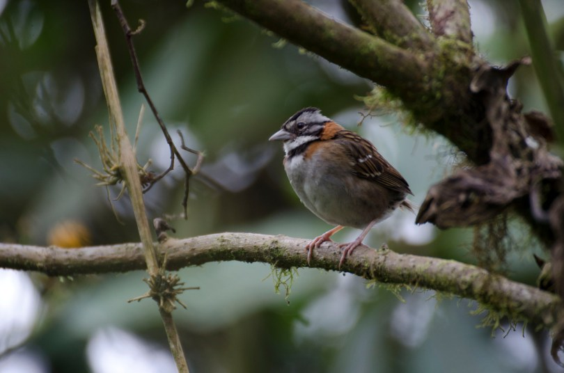 A common Rufous-collared Sparrow.
