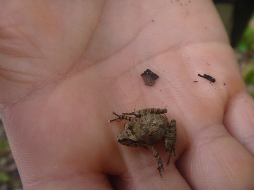 A small frog - the only one we saw though we heard many more.