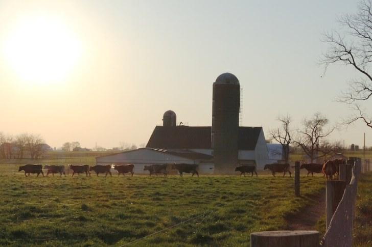 End of Day Farm Cows