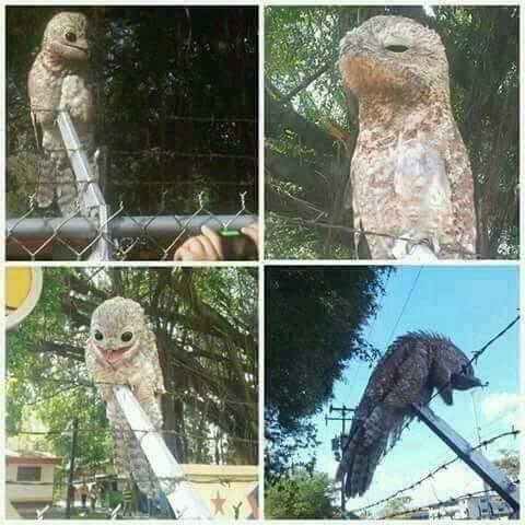 #Curiosidades: Extraña ave en peligro de extinción es confundida con una ' bruja '.