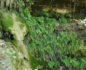 Maidenhair fern on bank of Big Joshua Creek northwest of Boerne
