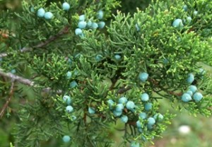 Blue cones on female Ashe juniper. (Photo by Bill Ward)